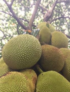 我的菠蘿蜜樹