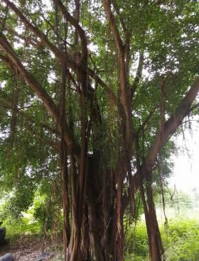 每一棵大榕樹,都是童年的回憶