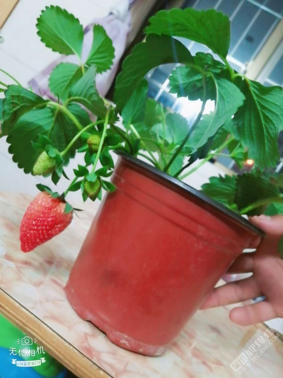 有人來我家吃草莓么