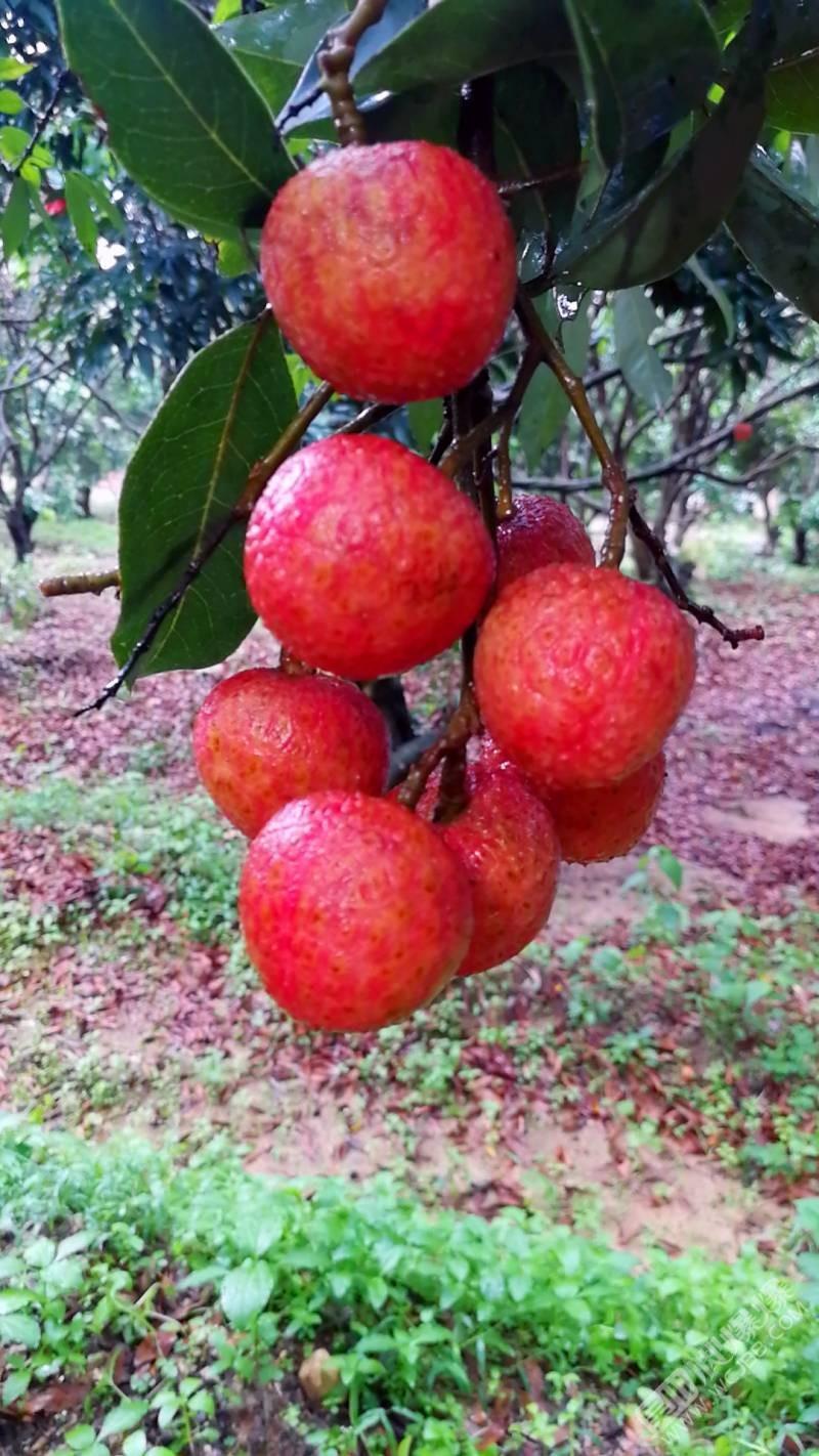 荔枝红了——摄于高州根子镇贡园