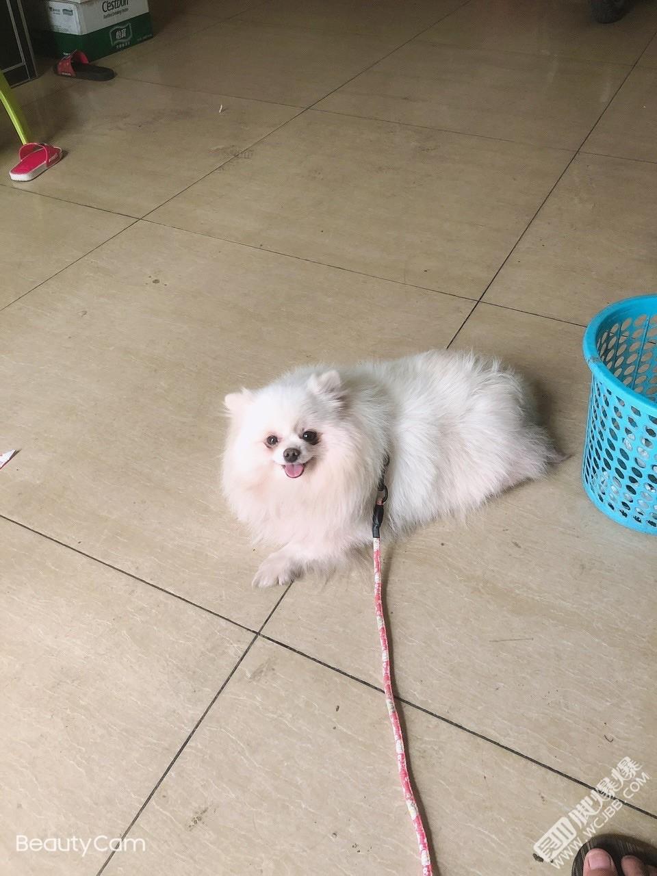 尋狗啟事】在博鋪瓦窯路口附近走丟的博美,狗狗8斤左右,酬謝2000元